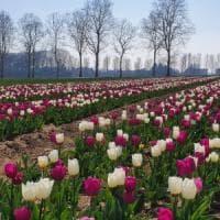 Il coronavirus ferma i campi di tulipani u pick ma la consegna si fa a domicilio: