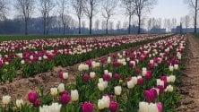 I tulipani dei campi u pick di Arese e Galbiate arrivano a domicilio