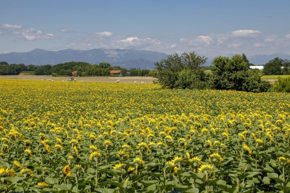 In Brianza spunta un campo di girasoli che sembra un quadro di Van Gogh