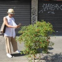 In mezzo al cemento nasce un albero di ciliegie