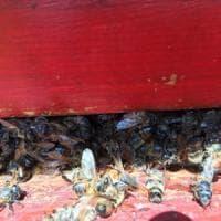 Strage di api nel Bresciano, si indaga sui pesticidi agricoli