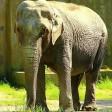 Muore a 56 anni Sabrina l'elefantessa-simbolo  dello zoo di Napoli  foto