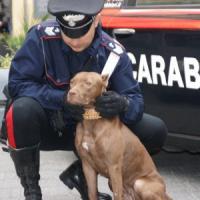 Pitbull difende il suo padrone: assalta, azzanna e mette in fuga un rapinatore