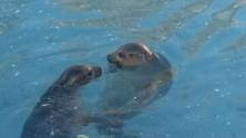 E dalla Danimarca  arrivano le foche