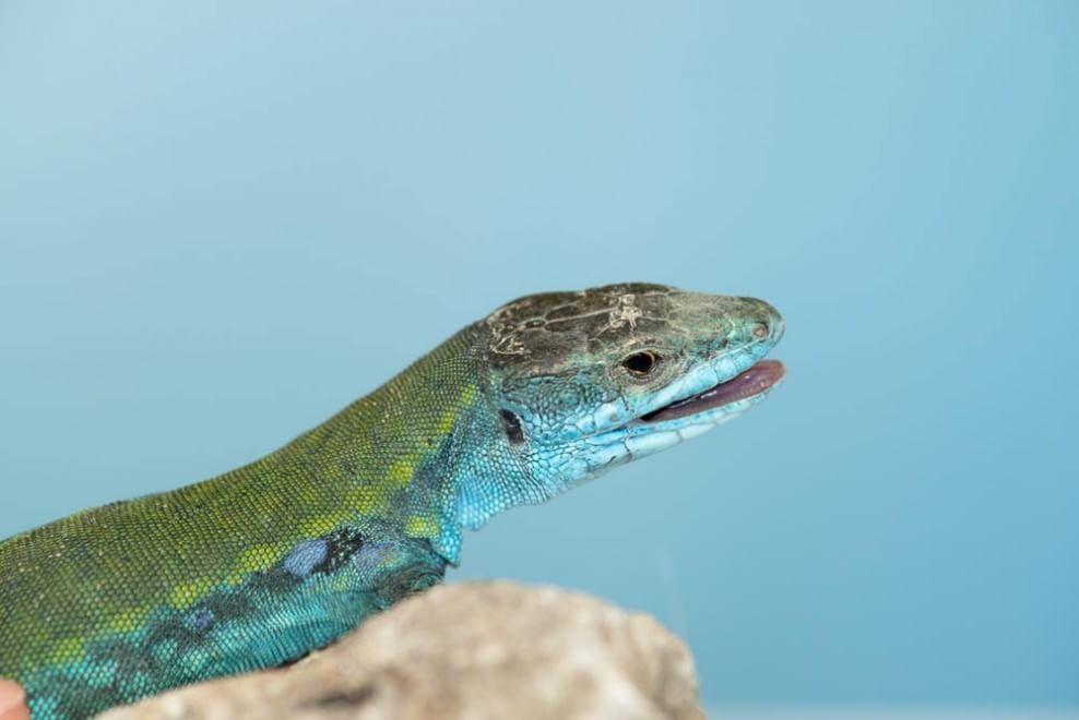 Capri, la lucertola blu finisce sulla BBC