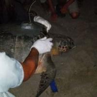 Il paradiso delle tartarughe a Marina di Camerota