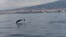 La danza dei delfini  nel golfo di Napoli