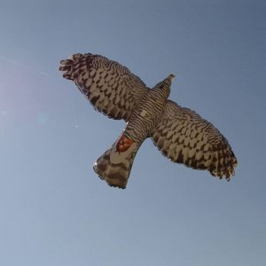 Animale a chi: Un falco gonfiabile  allontana piccioni e storni