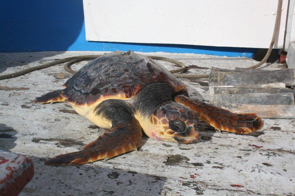 Sei tartarughe salvate in sei giorni a punta campanella for Temperatura tartarughe