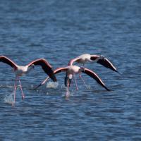 Lo spettacolo dei fenicotteri rosa sulle acque del Lago Patria
