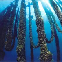 Scoperto un allevamento di cozze in mare di fronte ex Italsider a Bagnoli