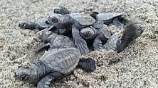 Tutti pazzi  per le 74 tartarughine