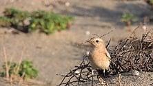 Monachella del deserto terzo avvistamento