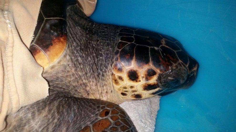 In difficoltà tra i rifiuti a Monte di Procida, salvata la tartaruga Montina