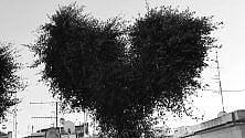 A Forio c'è l'albero  che sembra un cuore