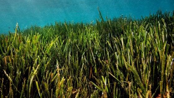 Le praterie di Posidonia oceanica, lo studio del Dohrn sul patrimonio sommerso