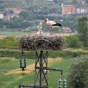Sala Consilina, un traliccio nido delle cicogne da 22 anni