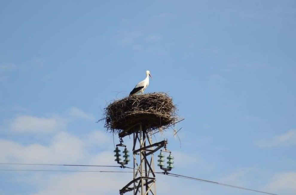 La fedeltà delle cicogne:  scelgono lo stesso traliccio per il nido da 22 anni