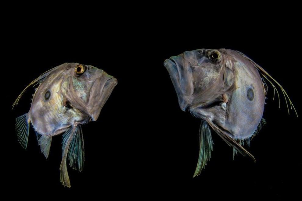 I pesci San Pietro di Sorrento conquistano il mondo