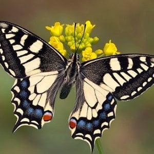 Il volo leggero della farfalla