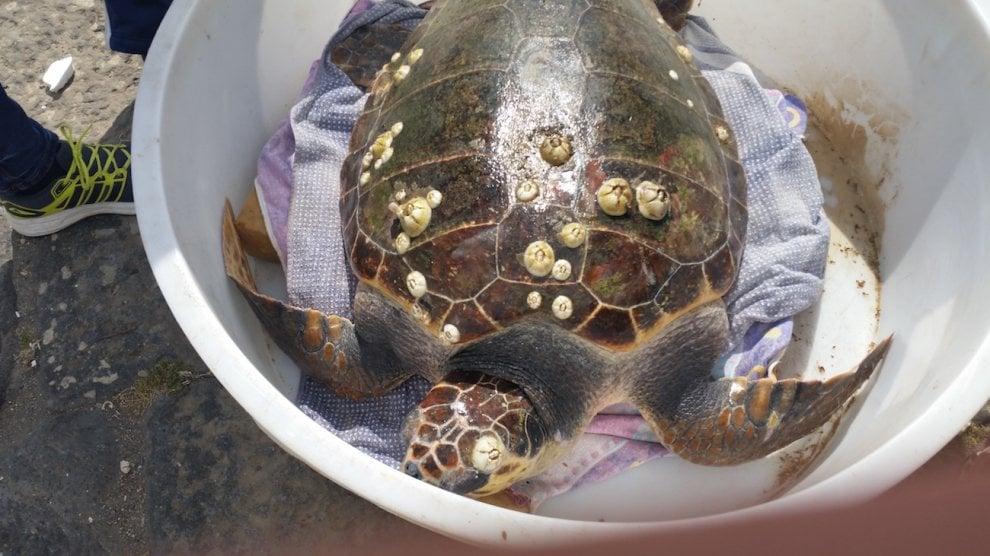 """Ancora una tartaruga """"gigante"""" salvata dal Centro Tartanet"""