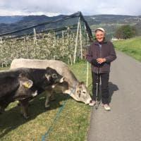 """Bassolino in posa con le mucche, """"sfida"""" Berlusconi"""