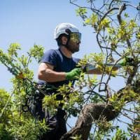 """Mortella, la potatura è uno spettacolo: arrivano i """"tree climber"""""""