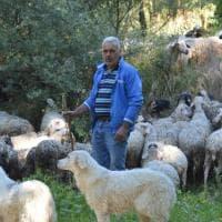 """I tuffi delle pecore nel Sele, si rinnova il rito della """"vagnatura"""""""