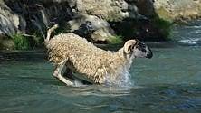 """I tuffi delle pecore  nel rito della """"vagnatura"""""""