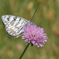"""Butterfly watching"",  inseguendo farfalle sui monti Lattari"