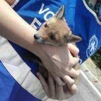 Rossella, la piccola volpe salvata in Cilento