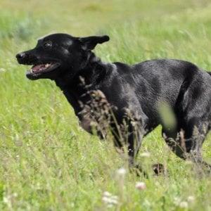 Cani allerta diabete, un amico che salva la vita