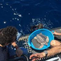 Capri, la seconda vita di Belizzi e Maria Teresa: sette tartarughe tornano in mare