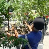Droga, piantagione di marijuana scoperta in Irpinia