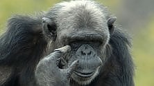 Una struttura per gli scimpanzè allo zoo