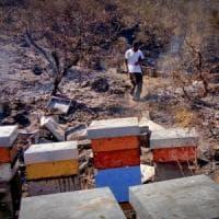 Incendi, strage di 50 milioni di api sul Vesuvio