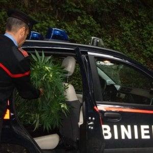 Blitz dei carabinieri, scoperta piantagione di marijuana sui monti dell'Irpinia