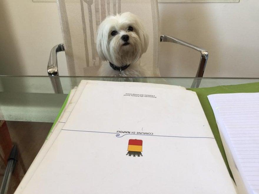Napoli, il cane Holly sulla poltrona dell'assessore contro l'abbandono