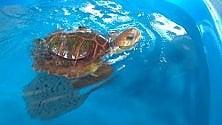 Gertrude, la tartaruga tradita dalle reti