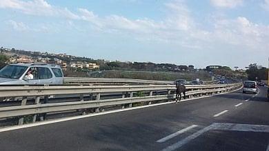 Un cavallo contromano in tangenziale panico nell'area flegrea