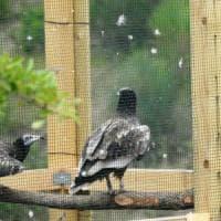 Avvoltoi a rischio, la missione di Apollo e Teti: ripopolare il cielo della Basilicata
