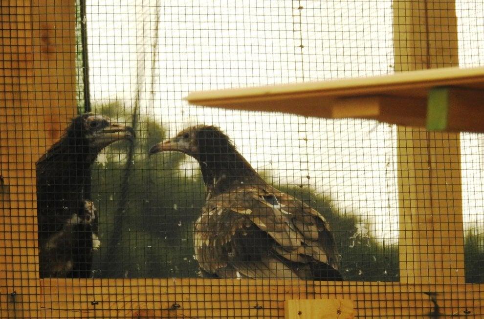 """Apollo e Teti, i due avvoltoi """"lucani"""" che lottano contro l'estinzione"""