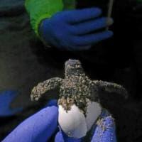 Palinuro, si schiudono le uova: tartarughine in spiaggia