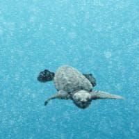 Palinuro, liberate in mare tre piccole tartarughine