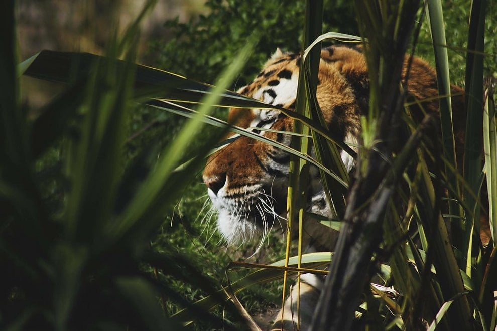 Addio a Kashmir, l'anziana tigre dello Zoo di Napoli