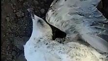 Acerra, la strana morte  di 5 gabbiani