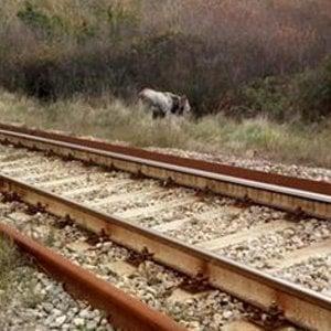 Mucca travolta sui binari dal treno in transito, traffico ferroviario bloccato