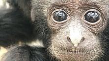 Allo Zoo di Napoli è nato un cucciolo di Siamango