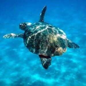 Il golfo di Napoli è il mare preferito da Caretta caretta