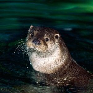 Animali, Wwf: speranza per la lontra, ripresi due esemplari nel Salernitano